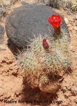 Capitol Reef red flower