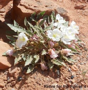 Capitol Reef white cactus flower